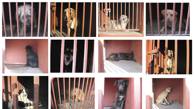 In this 12 picture composite released by the Mexico City's Attorney Generals Office on Monday Jan. 7, 2013, several dogs are shown behind bars after they were caught in the vicinity where where a woman, her baby and a teenage couple were found dead and covered in dog bites in two separate incidents in recent days. Authorities have captured 25 dogs near the scene of the attacks in the capital's poor Iztapalapa district, but rather than calm residents, photos of the forlorn dogs brought a wave of sympathy for the animals, doubts about their involvement in the killings and debate about government handling of the stray dog problem. (AP Photo/Mexico City's Attorney Generals Office)