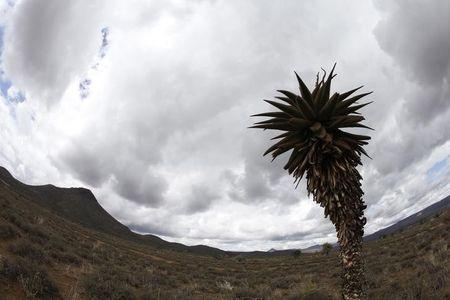 An aloe plant stands over a barren landscape of South-Africa's semi-desert Karoo landscape near Graaff-Reinet
