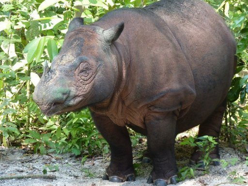 There are fewer than 200 Sumatran rhinos alive in Southeast Asia