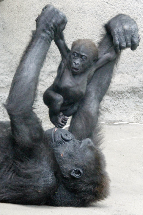 Moka, an endangered western lowland Gorilla, plays with her unnamed 3-month-old baby at the Pittsburgh Zoo and Aquarium in Pittsburgh. The zoo said ob Monday June 4, 2012 that the baby had died on Sat