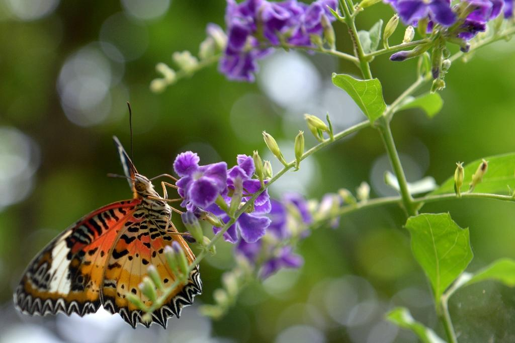 Cambodian hearts aflutter over struggling butterflies
