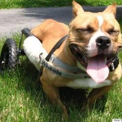 Kiki, A Pit Bull Who Uses A Wheelchair, Has A Can-Do Spirit And Needs A Forever Home