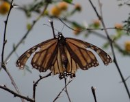 A migrant monarch butterfly returning north often looks a bit worse for wear after the long journey south.
