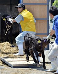 Calves are unloaded at a dairy cattle market to be put up for auction in Motomiya, 50 kms west of the stricken Fukushima nuclear power plant, on July 14, 2011. Radiation fears mounted in Japan after news that contaminated beef from a farm just outside the Fukushima nuclear no-go zone had been shipped across the country and probably eaten