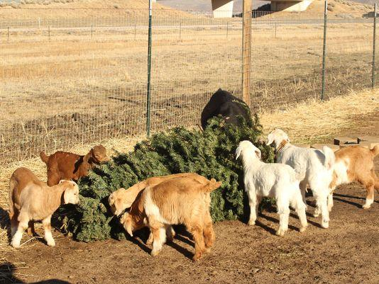 Nevada goats help eat, recycle Christmas trees