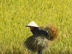 Farmer carries rice crops while harvesting on a rice paddy field in Thuy Huong village