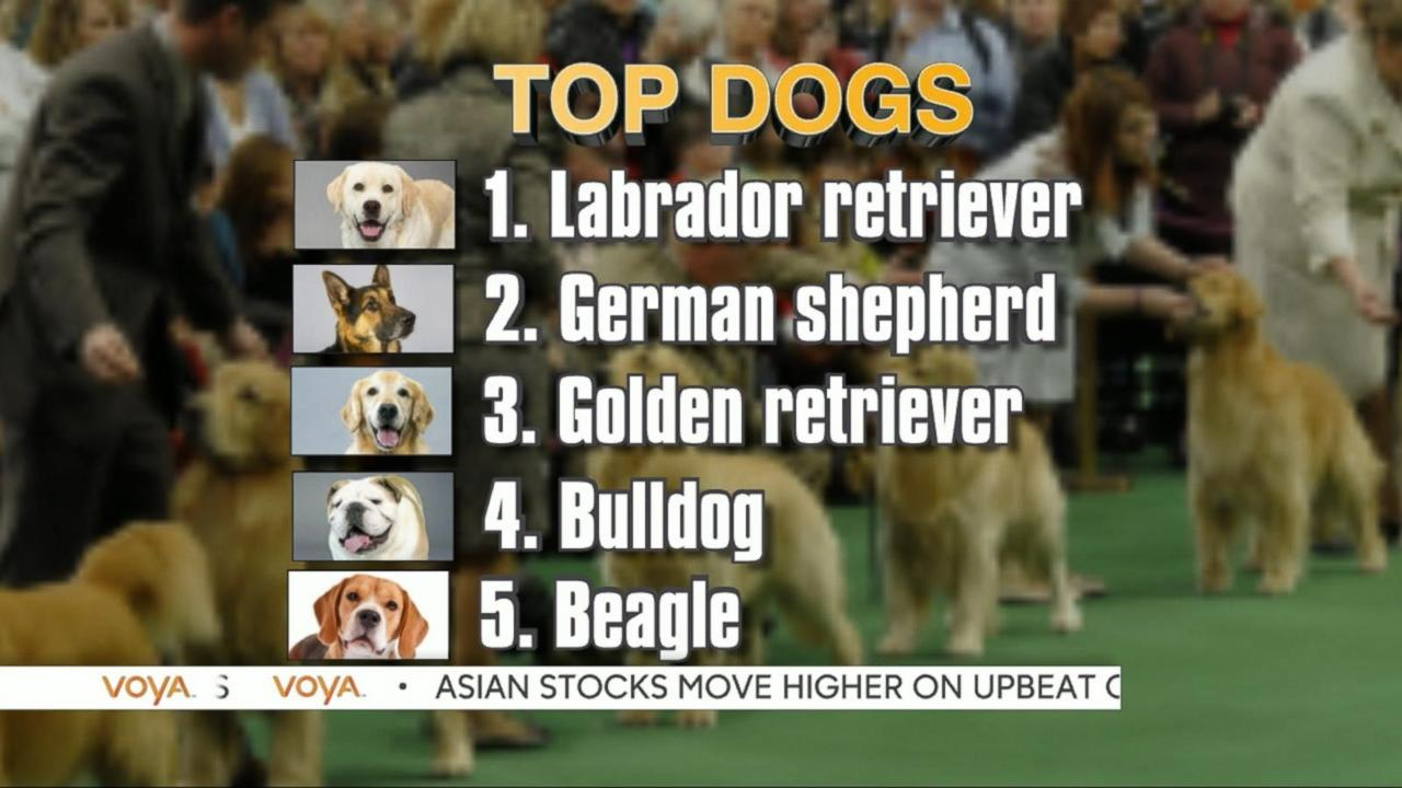 American Kennel Club Says Labrador Retriever Top Dog Again