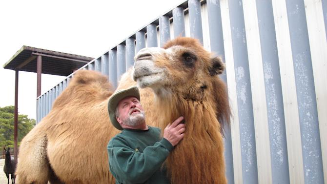 FILE - In a Thursday Jan. 26, 2012 file photo, Princess, left, a Bactrian camel famous for her ability to correctly predict the winner of football games, stands with John Bergmann, general manager of Popcorn Park Zoo in Lacey Township, N.J. Princess was euthanized Tuesday, Jan. 14, 2014 after arthritis made it impossible for the 26-year-old animal to stand, said Bergmann, just weeks before the state is set to host its first Super Bowl. Princess correctly picked the Baltimore Ravens in last year's Super Bowl. Her best run came in the 2008 season, when she picked 17 of 22 games correctly, including the Pittsburgh Steelers to win Super Bowl XLIII. (AP Photo/Wayne Parry, File)