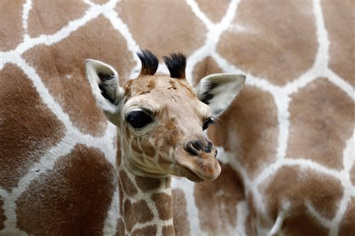 Jule, a baby Rothschild giraffe, munches on a branch in her enclosure at Tierpark zoo on June 29, 2012 in Berlin, Germany. Jule was born at the zoo on June 10.