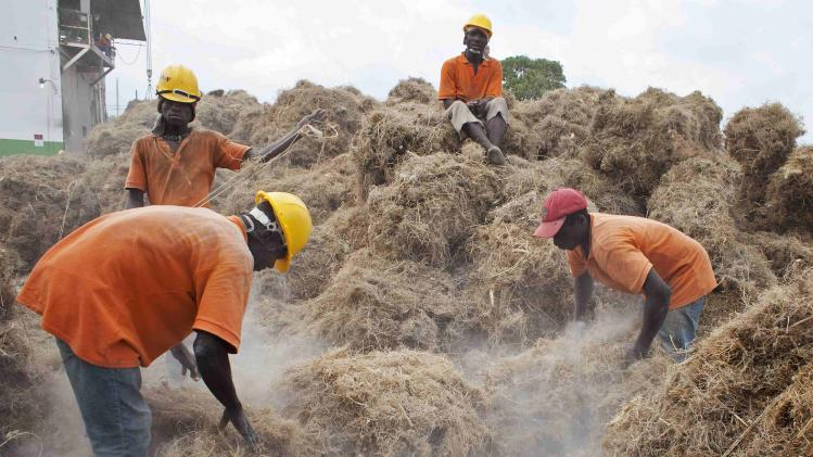 Workers shake soil from bales of Vetiver roots to be processed at the Agri-supply distillery in Les Cayes