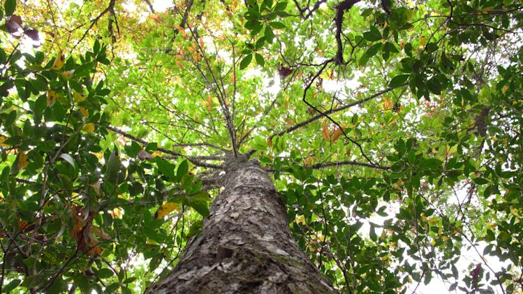 This Wednesday, Oct. 10, 2012 photo shows an American chestnut tree on Traylor Renfro's mountaintop retreat in Grassy Creek, N.C. About 50 feet tall, the tree has yet to show signs of the blight that has all but wiped out the iconic American species. (AP Photo/Allen Breed)