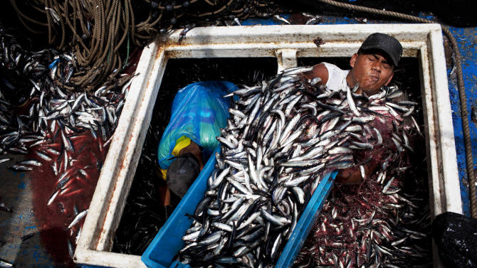 "FILE - In this Dec. 7, 2012 file photo, Marvin Vega unloads a crate of anchovies from the holding area of a ""boliche,"" the Peruvian term for boats that are used by fishermen who fish with nets, at the port of El Callao, Peru. Not only has overfishing of the Peruvian anchovy, or anchoveta, battered the industry that makes Peru far and away the world's No. 1 fish-meal exporter, it has also raised alarm about food security in a nation that had long been accustomed to cheap, abundant seafood. Peru's government ordered radical restrictions on what the country's 1,200-boat commercial fleet could catch after anchoveta stocks plummeted. But compliance with strict government quotas has been problematic. (AP Photo/Rodrigo Abd, File)"