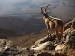 ibex mountain goat cliff landscape israel