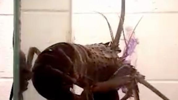 Mollusks to Hungry Lobsters: Snot Gonna Happen!