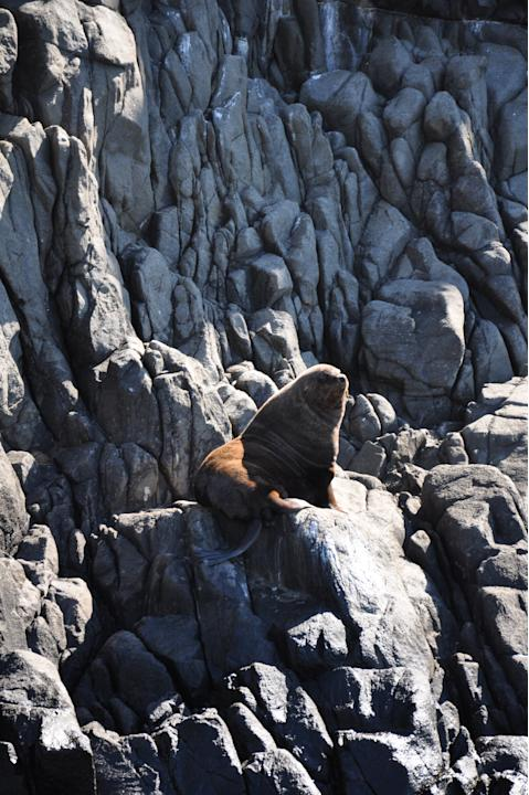 We'll not even begin to talk about how fur seals smell.Nevertheless, the sight of them perched on rocks while the waves pound below is really quite breathtaking.