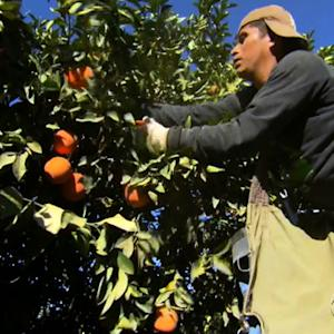 Freeze puts $1.5 billion Calif. citrus industry in danger