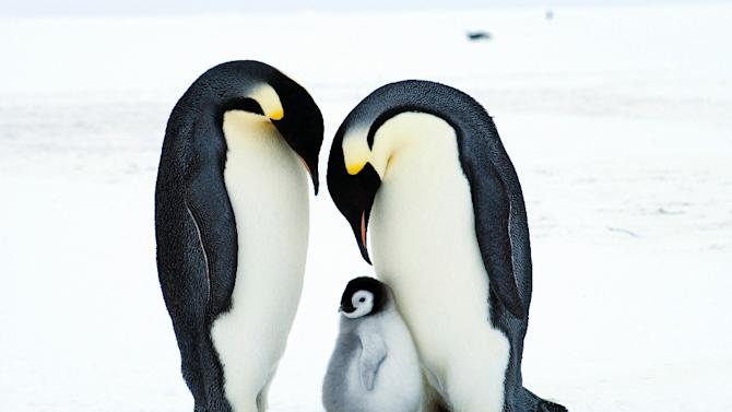 Antarctica's Ross Sea has been a rare safe haven for emperor penguins for thousands of years, even when temperatures were too harsh for their liking, a study released on March 2, 2015 suggests