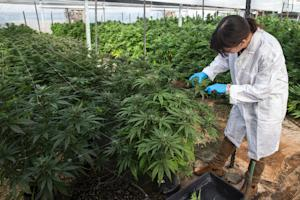 The recreational use of cannabis is illegal in the…