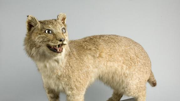 Exotic Cat Prowled British Countryside a Century Ago