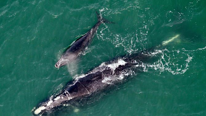 In this Jan. 21, 2013 photo provided by The Florida Fish and Wildlife Conservation Commission, a right whale named Equator, after the white scar across her back from being entangled in fishing gear in 2008, and her calf are seen swimming offshore of Cumberland Island, Ga. The endangered right whale that Georgia wildlife biologists once freed from fishing line caught around its midsection has returned off the coast four years later with a newborn calf in tow. Whale watchers at the state Department of Natural Resources are celebrating, saying it's the first time a whale saved from entanglement in Georgia waters has come back to give birth. (AP Photo/The Florida Fish and Wildlife Conservation Commission)