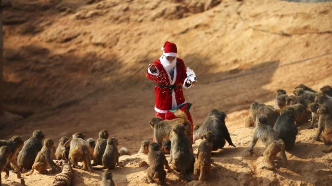 An employee dressed as Santa Claus feeds monkeys ahead of Christmas at a zoo in Kunming