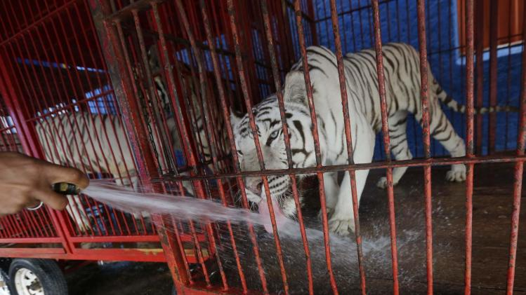 A worker gives water to a tiger in a cage at the Atayde Hermanos Circus in Mexico City
