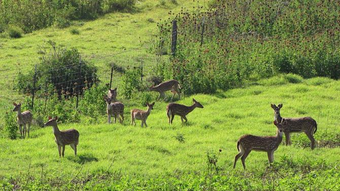 In this April 12, 2012 photo provided by Forest and Kim Starr, axis deer are shown in upcountry Maui near Makawao, Hawaii. In Maui, deer have caused $1 million in damage during the past two years for farmers, ranchers, and resorts, according to a county survey. They spent half that amount during the same time trying to get rid of the animals. (AP Photo/Forest and Kim Starr)