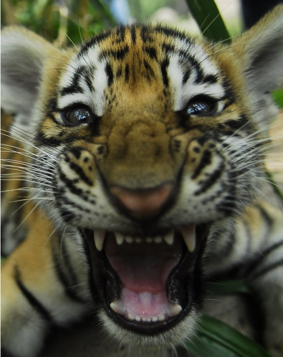 A two- month old Bengal tiger cub reacts in its enclosure at the animal refuge La Fundacion Refugio Salvaje (Furesa) in La Libertad on the outskirts of San Salvador