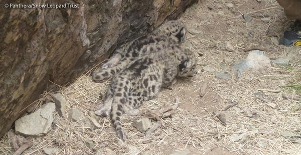 Snow Leopard Moms & Cubs Captured in First-Ever Video