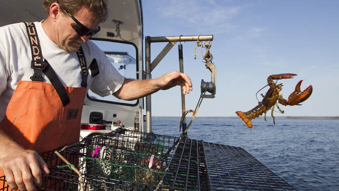 FILE - In this Monday, May 21, 2012 file photo, sternman Scott Beede, returns an undersized lobster while checking traps in Mount Desert, Maine. The state's lobster catch has started dropping off and prices at the dock have been inching up slowly just as the state's summer tourist season comes to a close. (AP Photo/Robert F. Bukaty, File)