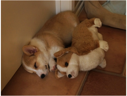 How a Corgi Accepts a Thoughtful Gift