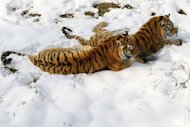 Two Siberian tigers (Panthera tigris altaica) at a zoo in Nanjing, east China&#39;s Jiangsu province last week. The London-based NGO The Environmental Investigation Agency said in a report Tuesday that China had a legalised domestic trade in captive-bred tiger products which stimulated the poaching of wild cats