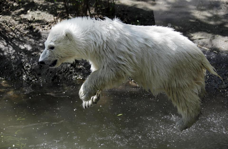 Luna, a resident polar bear cub, jumps in the water during a news conference at the Buffalo Zoo in Buffalo, N.Y., Wednesday, May 15, 2013. Luna will be the playmate for Kali, an orphaned polar bear cub from Alaska, until a permanent home is located. (AP Photo/David Duprey)