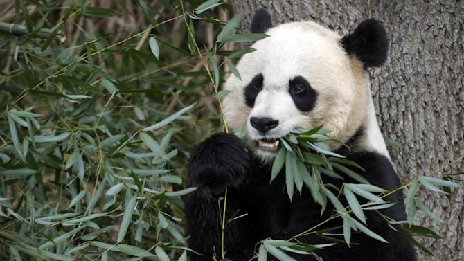 FILE - This Dec. 19, 2011 file photo shows Mei Xiang, the female giant panda at the Smithsonian's National Zoo in Washington. The zoo will disclose the cause of death of Mei Xiang's 6-day-old cub at a news conference Thursday morning, Oct. 11, 2012. The cub, believed to be female, died Sept. 23, 2012. (AP Photo/Susan Walsh, File)