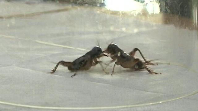 Crickets face off at annual fighting championships