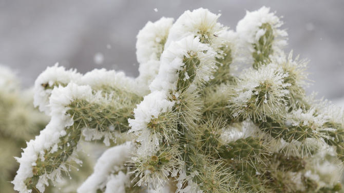 Snow covers a cholla cactus during a snow storm at the Match Play Championship golf tournament, Wednesday, Feb. 20, 2013, in Marana, Ariz. Play was suspended for the day. (AP Photo/Ted S. Warren)