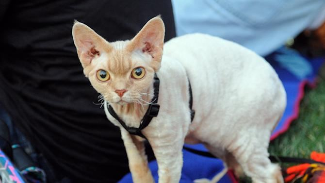 "Jenson, a Devon Rex, has a look around before the beginning of the Walker Art Center's first ""Internet Cat Video Film Festival,"" showcasing the best of cat films on the Internet in Minneapolis, Minn., Thursday, Aug. 30, 2012. The Walker Art Center in Minneapolis held its first-ever online cat video festival, a compilation of silly cat clips that have become an Internet phenomenon, attracting millions of viewers for some of the videos. (AP Photo/Craig Lassig)"
