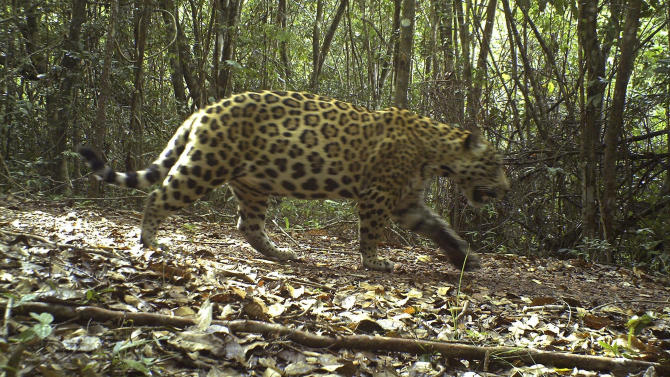 In this photo released by the New York-based conservation group Panthera, a jaguar is photographed by a camera trap on Karanambu Ranch, in the Rupununi Region of Guyana in 2011. The lushly forested nation of Guyana on Thursday, Jan. 24, 2013 joined a regional pact to protect jaguars, the elusive spotted cat that is the biggest land predator in the Americas but is vulnerable due to expanded agriculture and mining that carves away at their fragmented habitat. (AP Photo/Panthera)
