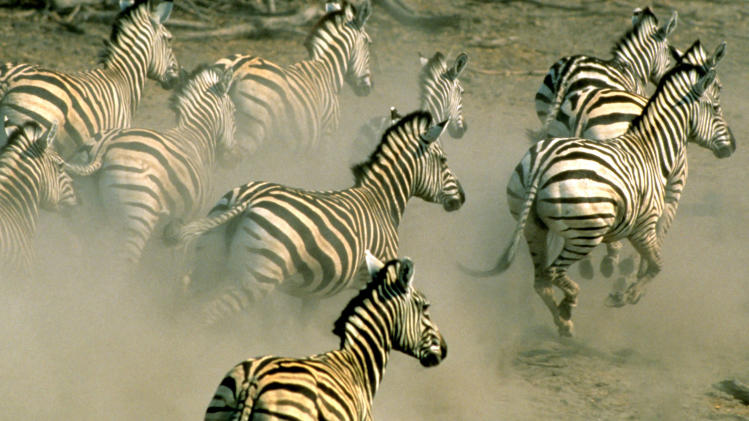In this undated handout photo supplied by the World Wildlife Fund (WWF), zebra run on a plain in northern Botswana. Thousands of zebra were monitored during a 500 kilometers (300 miles) roundtrip journey, a newly discovered trek that wildlife experts say reaches farther than any other known land migration in Africa. The newfound migration is a rare bright spot at a time when mass movements of wildlife are disappearing because of fencing, land occupation and other human pressures, a conservation specialist said. (AP Photo/HO-World Wildlife Fund International - Martin Harvey) MANDATORY CREDIT