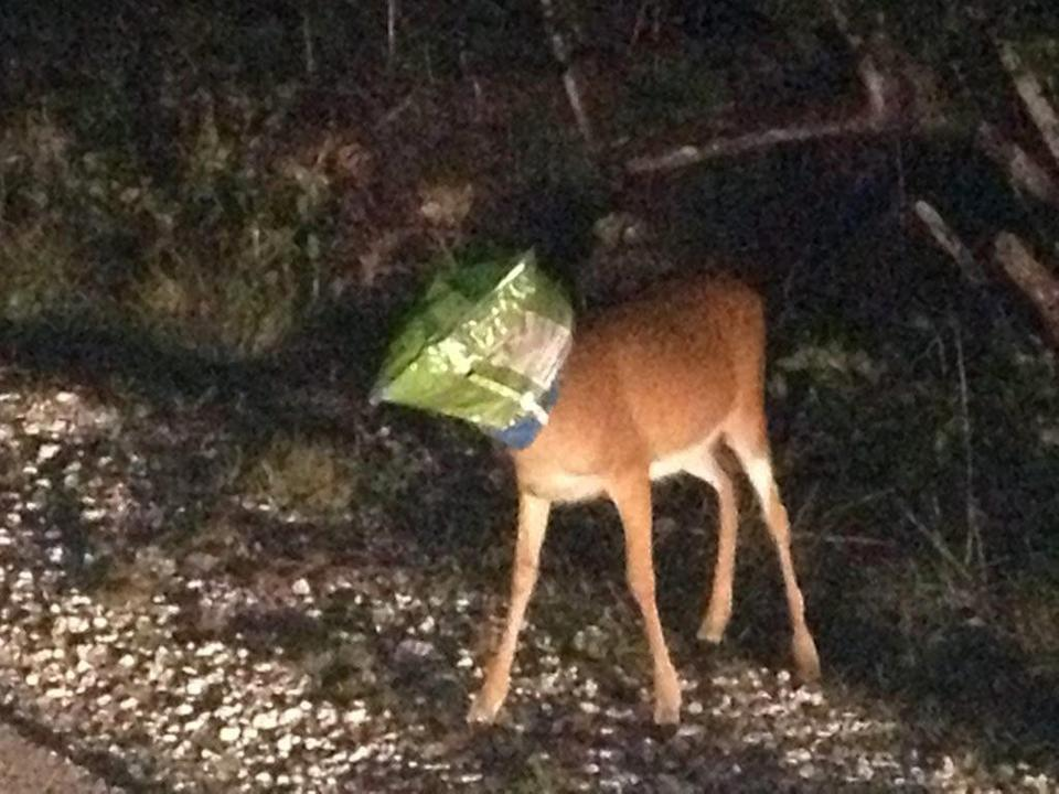 In an image provided by the Monroe County Sheriff's Office a Key deer has its head stuck in a snack food bag Saturday, June 8, 2013 in Florida. Monroe County, Fla., Sheriff's Deputy Joshua Gordon encountered the distressed animal in the Keys and removed the bag from the endangered species mammal. (AP Photo/Monroe County Sheriff's Office)