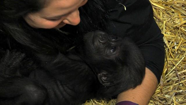 Baby Gorilla Being Raised by Human Moms