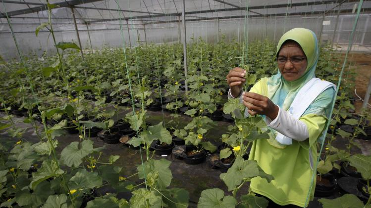 "In this photo taken Oct. 4, 2012, a worker checks her plant in a plant nursery, using technology called the ""autopot system"" at a rural community in Pulau Manis village, Pahang state, Malaysia. Malaysian technology firm Iris Corp. built two years ago this rural community where villagers - 80 families in all - live for free in low-cost bungalows and work on a high-tech hydroponic farm, a setup the company hopes to replicate elsewhere. The government is now involved in a plan to build similar villages across this Southeast Asian country, where nearly one of 10 people in rural provinces lives below the official poverty line. (AP Photo/Vincent Thian)"