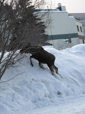 In this Thursday, March 15, 2012, photo, a juvenile moose is dwarfed by deep snow in Anchorage, Alaska. The state's largest city is 3.3 inches away from breaking its record snowfall of 132.6 inches that was set in the winter of 1954-55. (AP Photo/Rachel D'Oro)