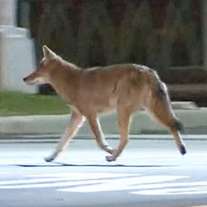 More coyotes spotted in urban jungle of NYC