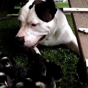 Kind-Hearted Pitbull is Obsessed with Farm's Baby Chickens and Turkeys
