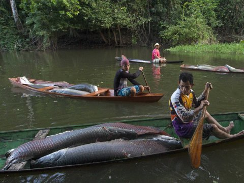 arapaima pirarucu amazon solimoes river