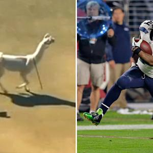 Lynch vs. Llama: Who's more elusive?