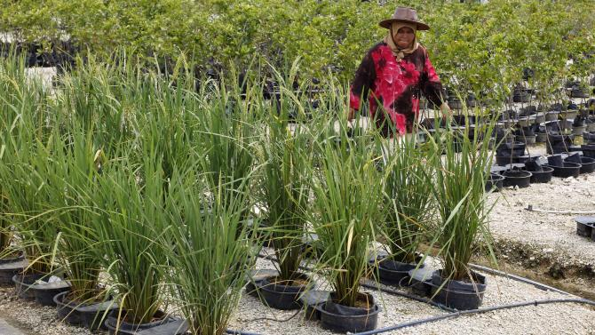 """In this photo taken Oct. 4, 2012, a worker walks in a plant nursery, which is used technology called the """"autopot system,""""at a rural community in Pulau Manis village, Pahang state, Malaysia. Each plant is in its own pot that regulates the delivery of water and nutrients, using less water than other farming methods. Malaysian technology firm Iris Corp. built two years ago this rural community where villagers - 80 families in all - live for free in low-cost bungalows and work on a high-tech hydroponic farm, a setup the company hopes to replicate elsewhere. (AP Photo/Vincent Thian)"""
