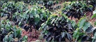Ospina Estate Columbian Coffee