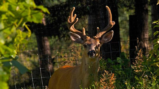 In this August 15, 2012 photo, a Blackmail buck looks up after feasting on grapevines in a backyard vineyard near Langley, Wash. The area is surrounded by an eight-foot-high fence but it was of little use that day because the property owner forgot to close one of the gates. Some of the most frequently asked questions from people new to gardening concern predators, like how to deal with foraging deer that have voracious appetites. (AP Photo/Dean Fosdick)